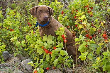 Chesapeake Bay Retriever (Canis familiaris) female, North America