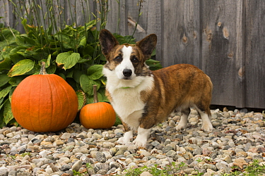Welsh Corgi (Canis familiaris) in autumn, North America