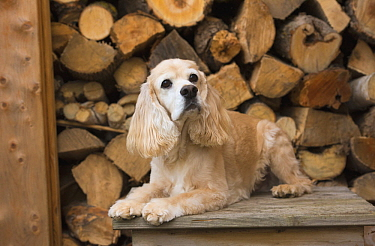 Cocker Spaniel (Canis familiaris), North America