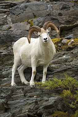 Dall's Sheep (Ovis dalli) ram, North America