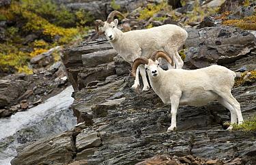 Dall's Sheep (Ovis dalli) rams, North America