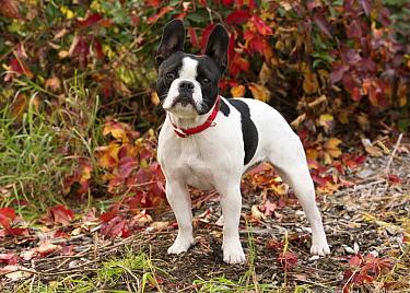 French Bulldog (Canis familiaris), North America