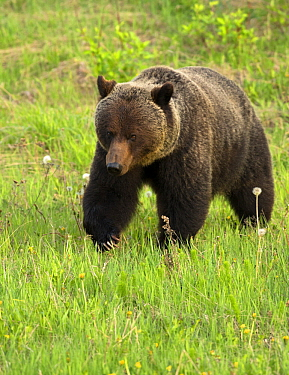 Grizzly Bear (Ursus arctos horribilis), North America