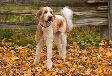 Goldendoodle (Canis familiaris), North America