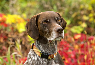 German Shorthaired Pointer (Canis familiaris), North America