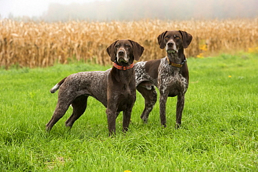 German Shorthaired Pointer (Canis familiaris) pair, North America