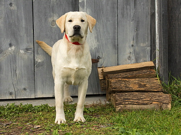 Yellow Labrador Retriever (Canis familiaris), North America