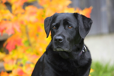 Black Labrador Retriever (Canis familiaris) female, North America