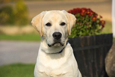 Yellow Labrador Retriever (Canis familiaris) puppy, North America