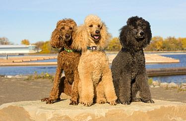 Standard Poodle (Canis familiaris) trio, North America