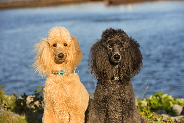 Standard Poodle (Canis familiaris) pair, North America