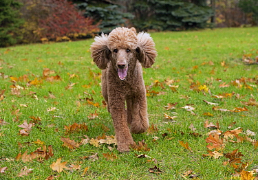 Standard Poodle (Canis familiaris) running, North America