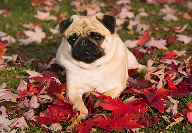 Pug (Canis familiaris), North America