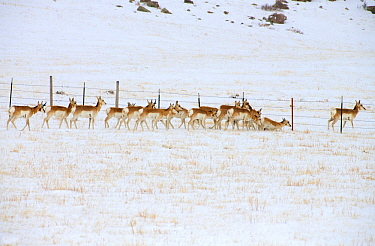 Pronghorn Antelope (Antilocapra americana) herd crossing fence in winter, North America