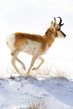 Pronghorn Antelope (Antilocapra americana) running in winter, North America