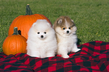 Pomeranian (Canis familiaris) puppies in autumn, North America