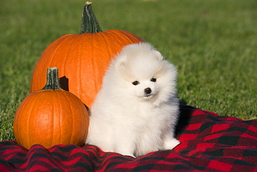 Pomeranian (Canis familiaris) puppy in autumn, North America