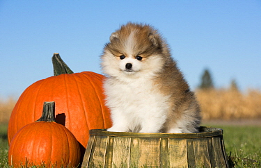 Pomeranian (Canis familiaris) puppy in autumn, North America