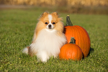 Pomeranian (Canis familiaris) in autumn, North America