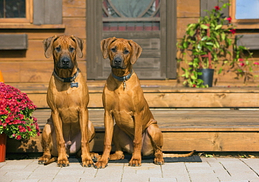 Rhodesian Ridgeback (Canis familiaris) puppies, North America
