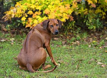 Rhodesian Ridgeback (Canis familiaris) female, North America