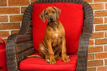 Rhodesian Ridgeback (Canis familiaris) puppy, North America