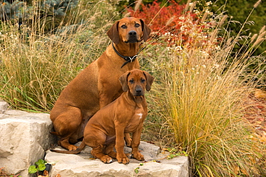 Rhodesian Ridgeback (Canis familiaris) mother and puppy, North America