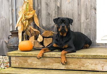 Rottweiler (Canis familiaris) in autumn, North America