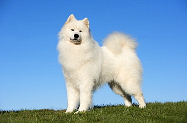 Samoyed (Canis familiaris), North America