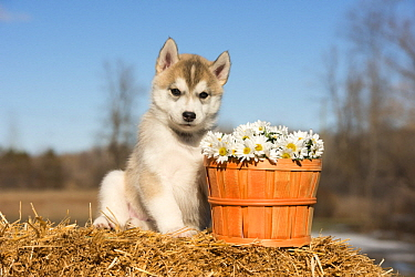 Siberian Husky (Canis familiaris) puppy, North America