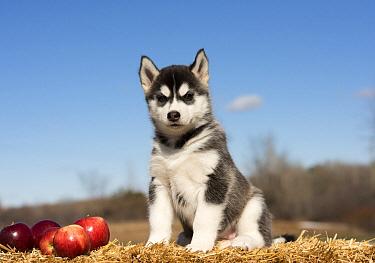 Siberian Husky (Canis familiaris) puppy, North America