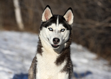 Siberian Husky (Canis familiaris) in winter, North America