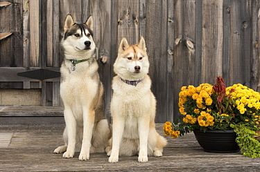 Siberian Husky (Canis familiaris) male and female, North America