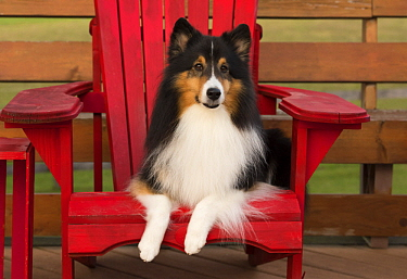 Shetland Sheepdog (Canis familiaris), North America
