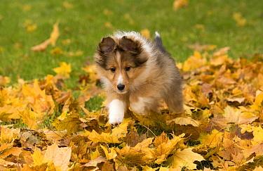 Shetland Sheepdog (Canis familiaris) puppy running, North America