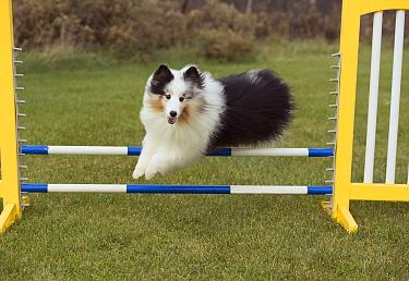 Shetland Sheepdog (Canis familiaris) jumping, North America