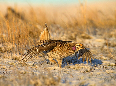 Sharp-tailed Grouse (Tympanuchus phasianellus) in courtship display, North America