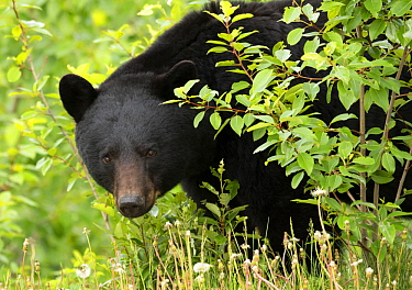 Black Bear (Ursus americanus) male, North America