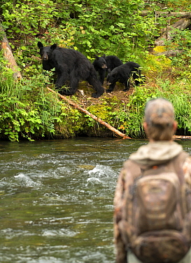 Black Bear (Ursus americanus) mother and cubs near fly fisherman, North America