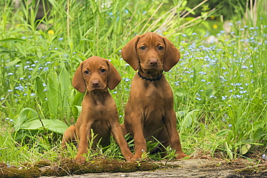 Vizsla (Canis familiaris) puppies, North America