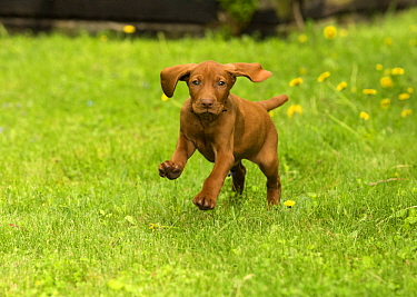 Vizsla (Canis familiaris) puppy running, North America