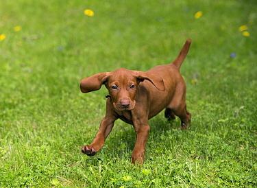 Vizsla (Canis familiaris) puppy running, North America