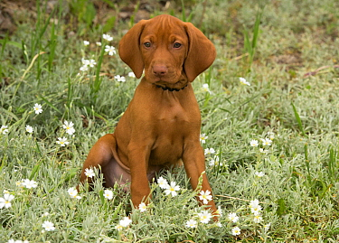 Vizsla (Canis familiaris) puppy, North America