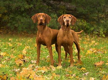Vizsla (Canis familiaris) pair, North America