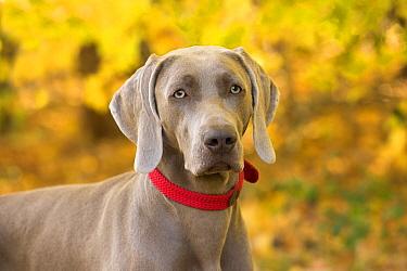 Weimaraner (Canis familiaris), North America