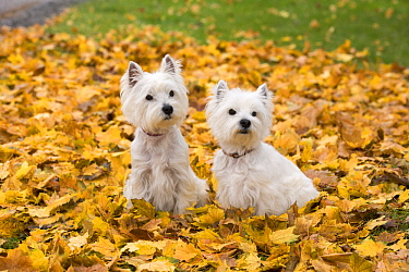 West Highland White Terrier (Canis familiaris) pair, North America