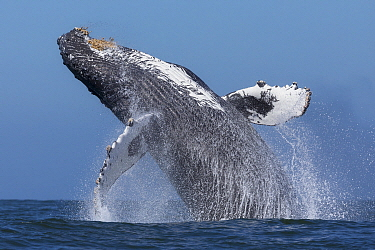 Humpback Whale (Megaptera novaeangliae) breaching, Monterey Bay, California