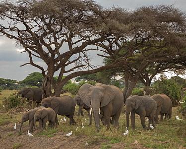 African Elephant (Loxodonta africana) herd and Cattle Egrets (Bubulcus ibis), Amboseli National Park, Kenya