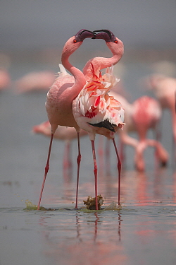 Lesser Flamingo (Phoenicopterus minor) pair fighting, Amboseli National Park, Kenya