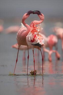 Lesser Flamingo (Phoenicopterus minor) pair fighting, Amboseli National Park, Kenya